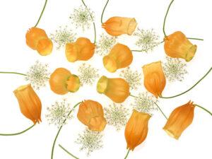 サンダーソニア オレンジ